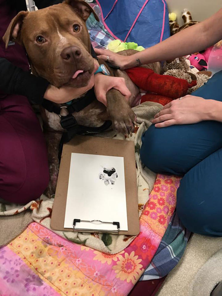 rescued-fight-pitbull-13