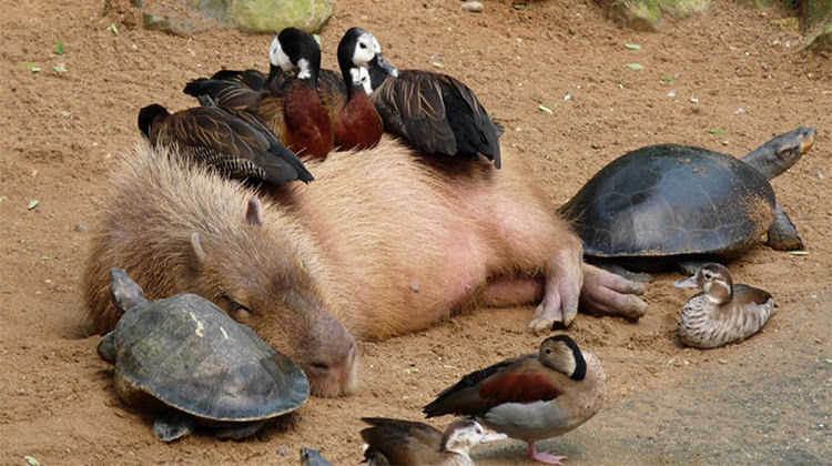 Why Do Animals Like Capybaras So Much 18 Pics Top13