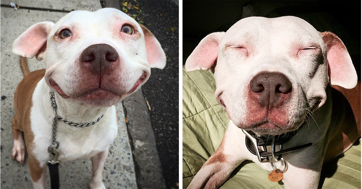 this pit bull is still smiling after 12 years of being