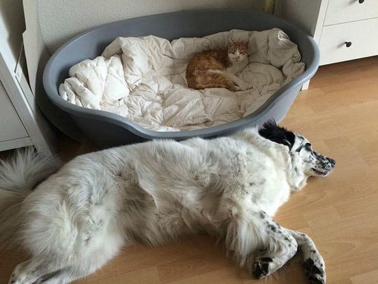 cats-steal-dog-beds-13