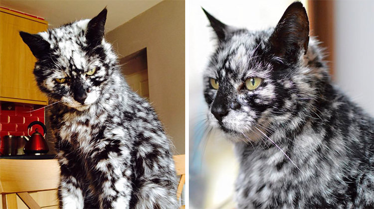 19 Year Old Cat Turns Into A Marble Beauty Due To Rare