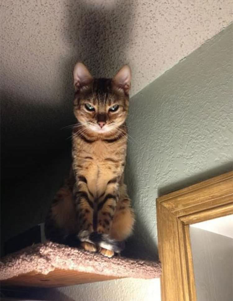 angry-cat-photography-11