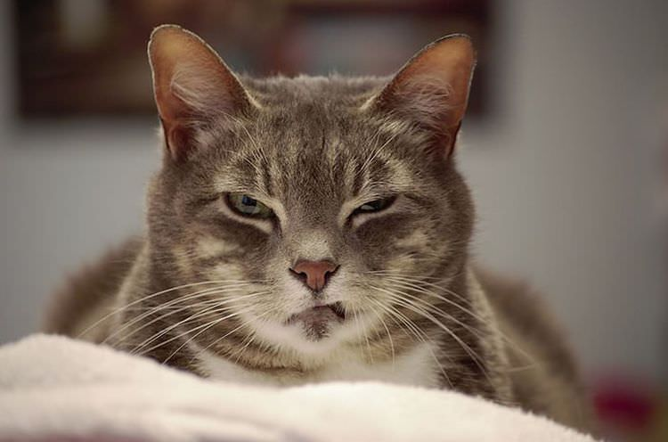 angry-cat-photography-5