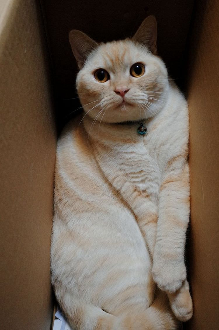 13 Huge Cats in Small Boxes | Top13