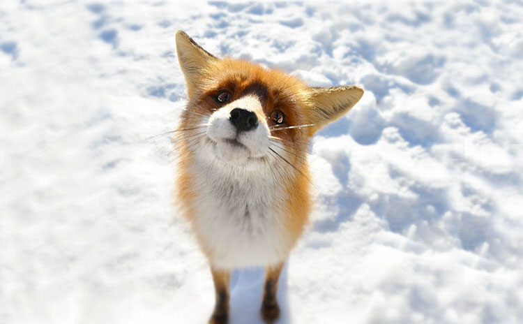 winter-fox-pictures