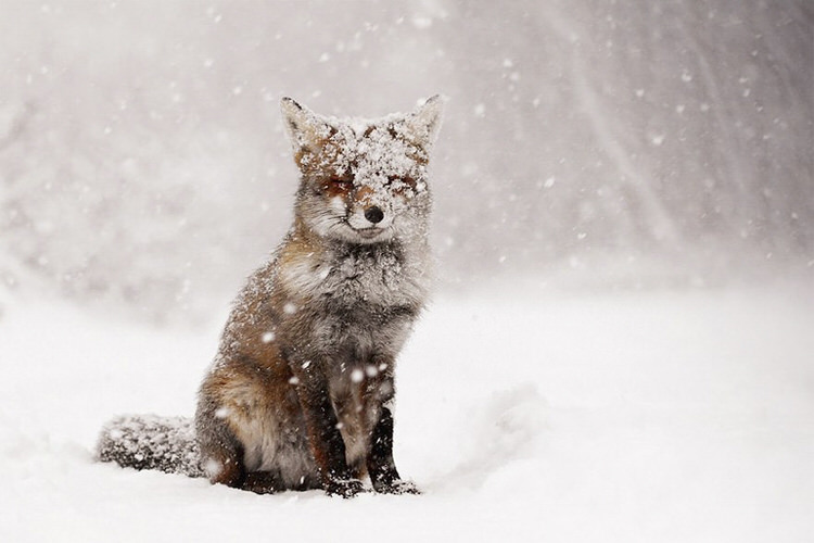 foxes-in-the-snow-winter-5