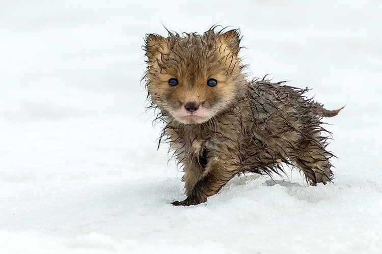 foxes-in-the-snow-winter-8