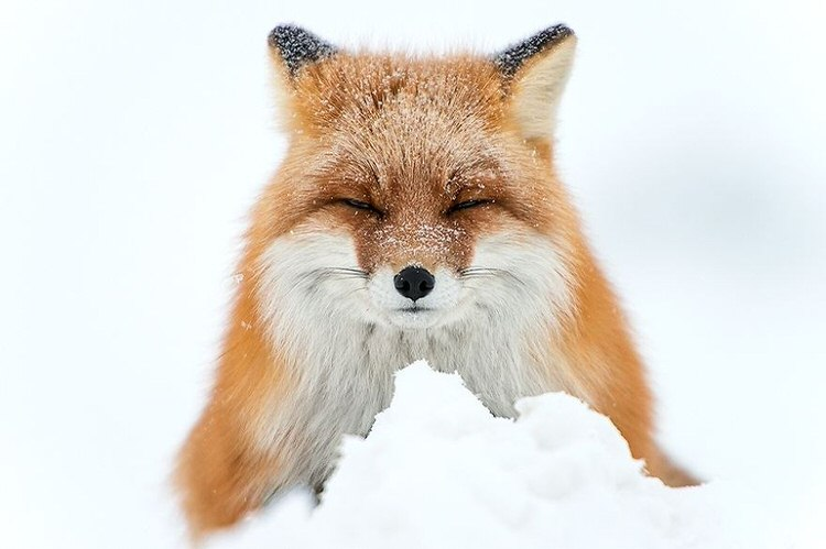 foxes-in-the-snow-winter-9