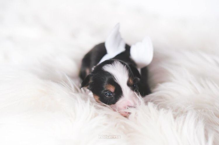 puppies-with-wings-natalia-zylowska-3
