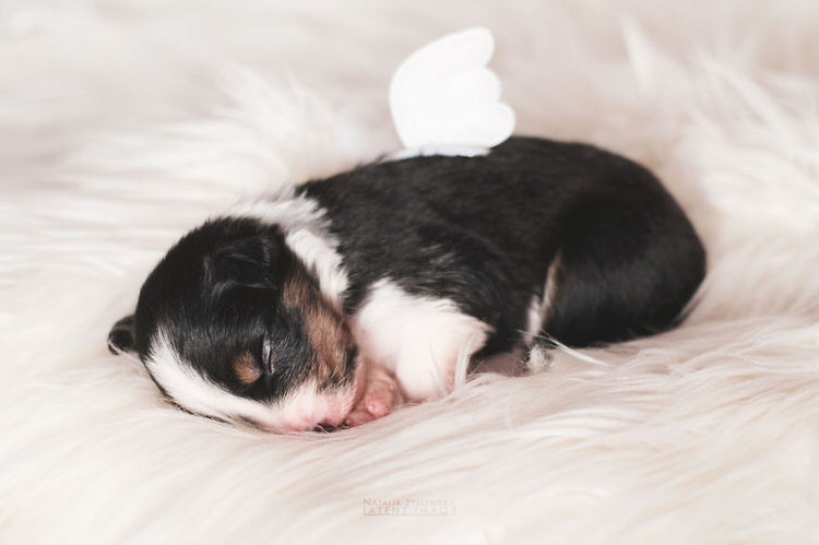 puppies-with-wings-natalia-zylowska-6