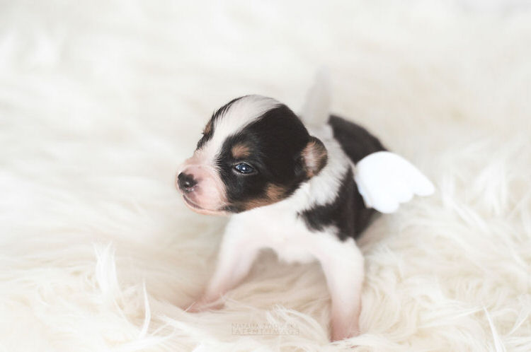 puppies-with-wings-natalia-zylowska-9
