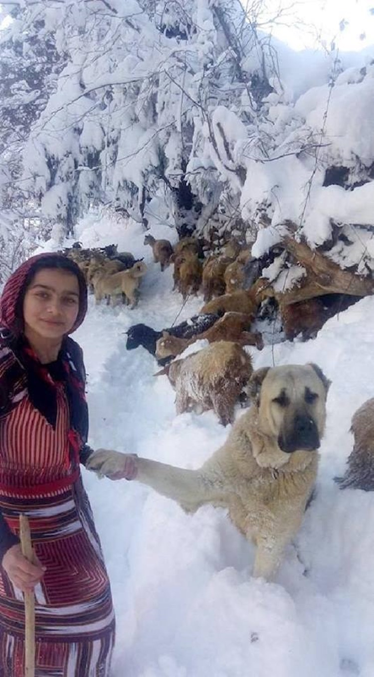 girl and dog save goat
