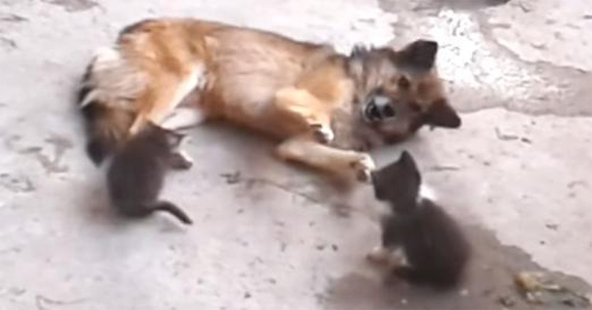 Mom Cat Introduces Babies To Dog