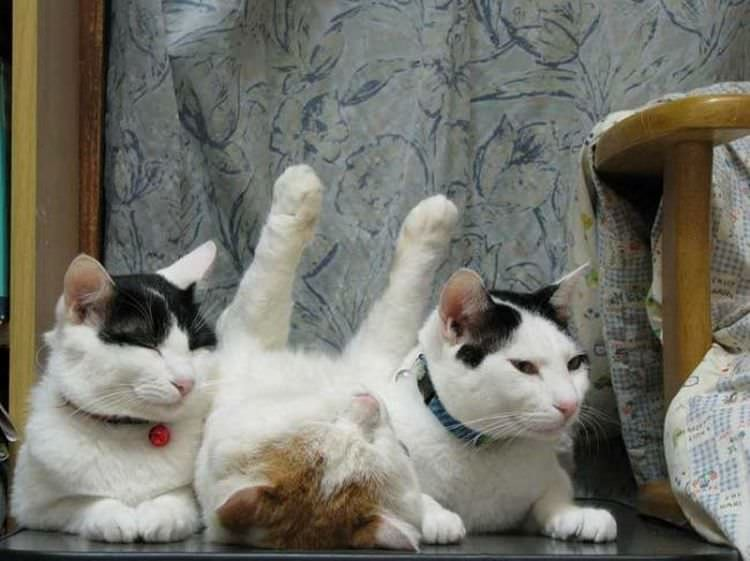 adorable lazy cats