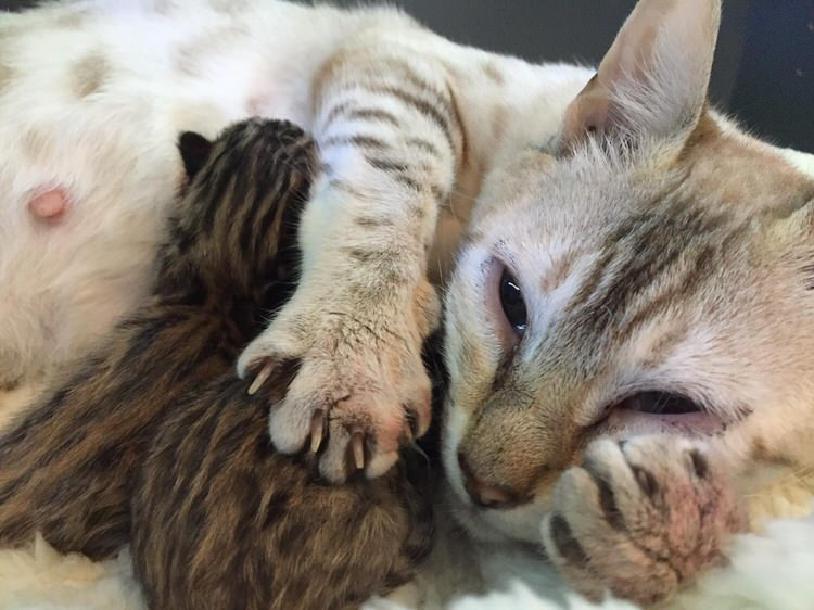 rescued white bengal cat