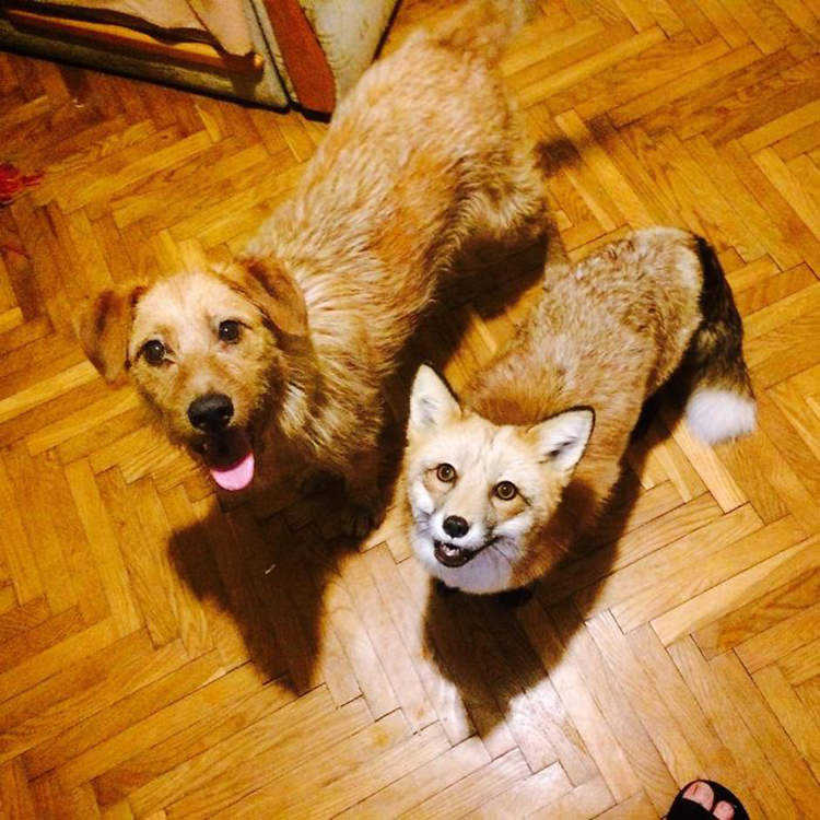 fox and dog best friends