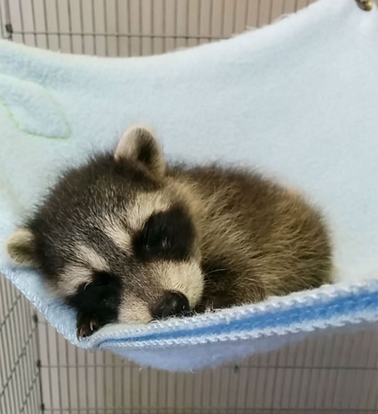 adorable racooon pictures
