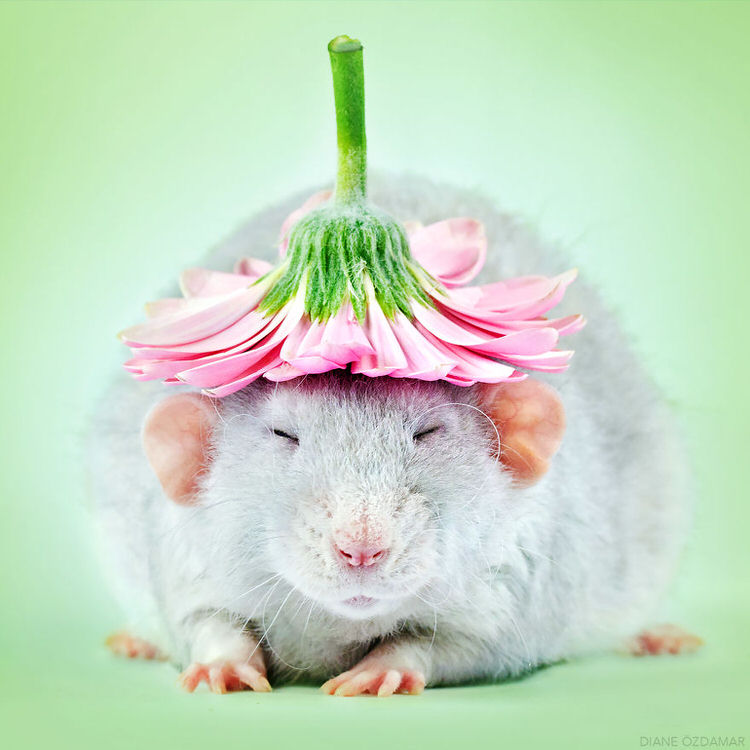 cute rats pictures