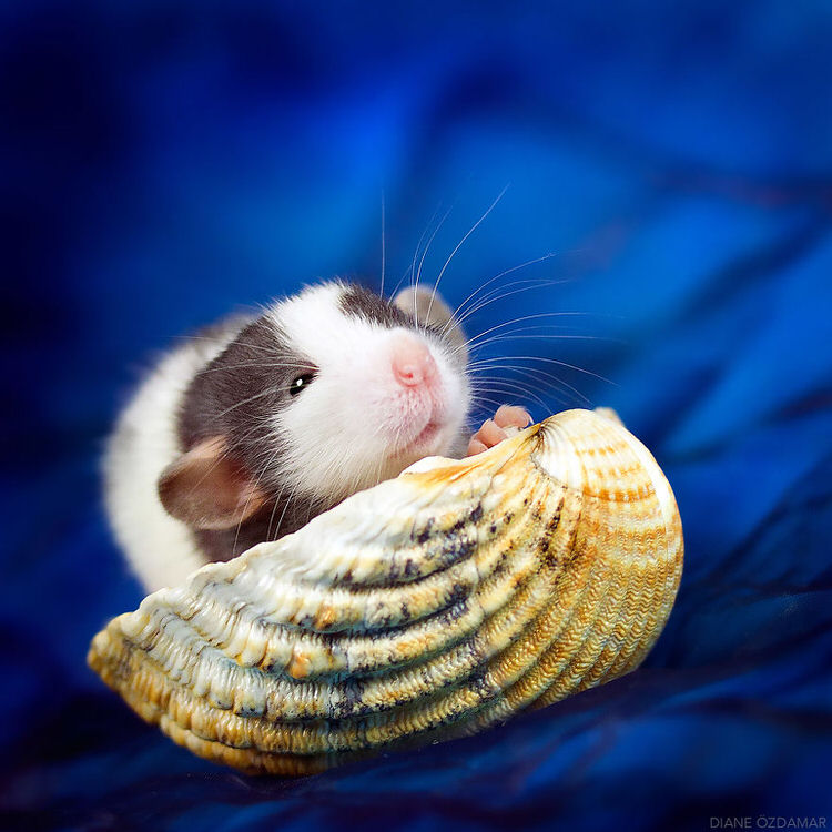 adorable rat pictures