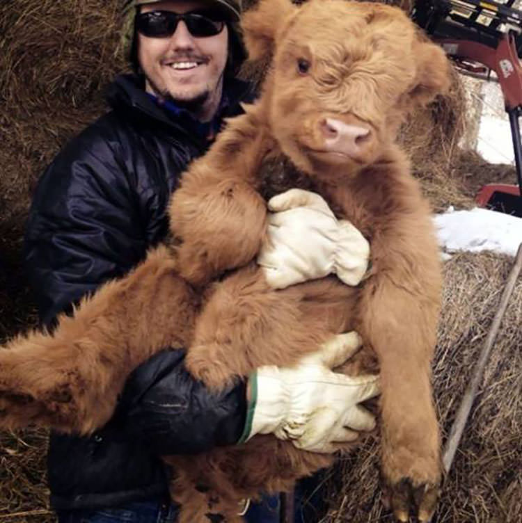 cute cows big dogs