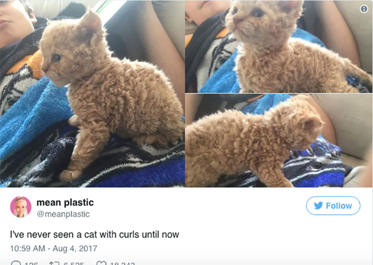 curly-haired-cats