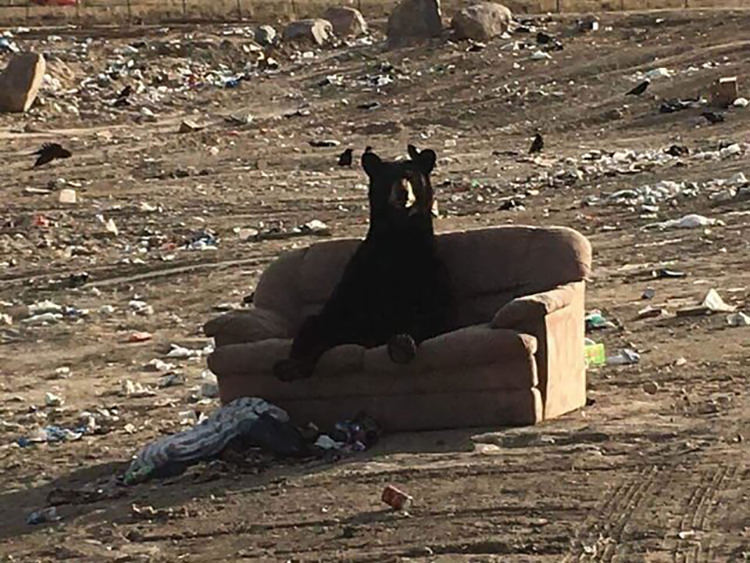 bear-sitting-up-abandoned-couch