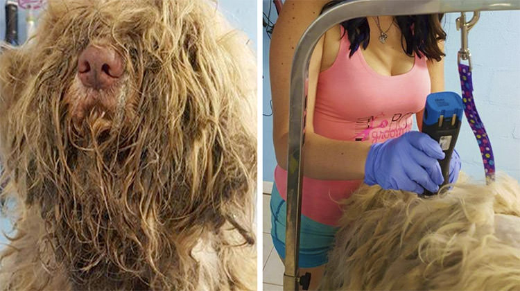 Pet Groomer Gives Stray Dog Haircuts To Discover Real Beauty Under Matted Fur
