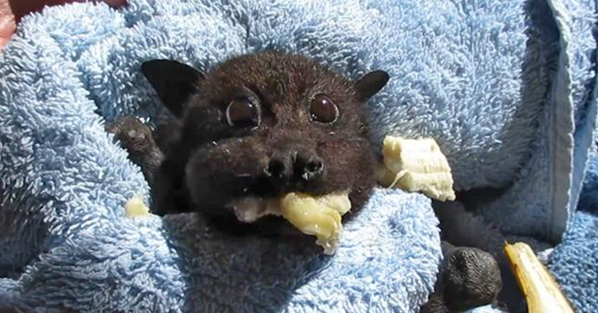 Baby Bat Rescued After Being Hit By Car Stuffs Her Cheeks