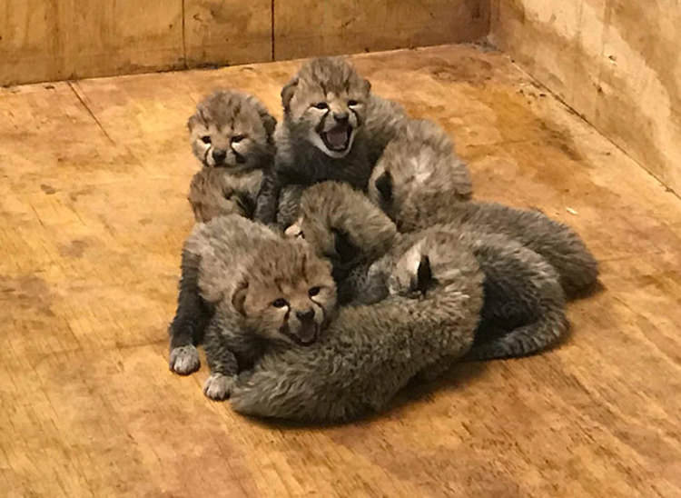 cheetah-eight-cubs-st-louis-zoo