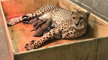 Cheetah Mom Gives Birth To A Record Number Of Cubs, And Their Photos Are Too Adorable