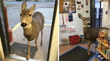 Deer Walks Into Shop To Check Out Their Products, Comes Back Later With A Surprise