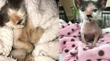 Tiny Hairless Kitten Turns Into The Fluffiest Cat With A Big Personality