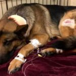 Heroic Dog Gets Shot While Defending His 16-Year-Old Human From Armed Burglars