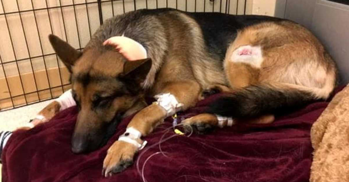 Heroic Dog Gets Shot While Defending His 16 Year Old Human