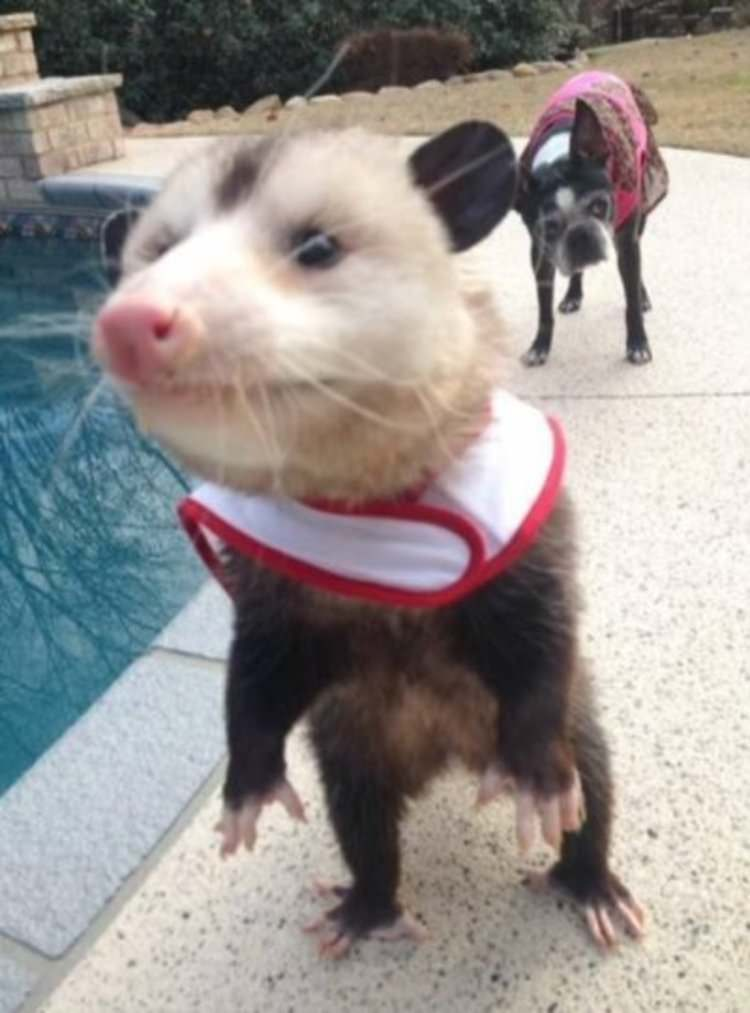 orphaned-opossum-rescued-by-woman-opie