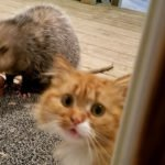 Possum Steals Cat's Food And The Kitty's Reaction Is Priceless