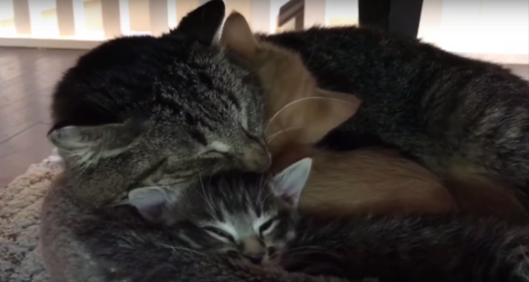 feral-cat-hated-humans-then-meets-tiny-kittens