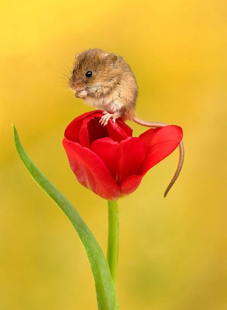 field mice pictures