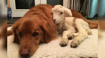 Dog Helps A Sick Lamb And The Pictures Will Make You Fall In Love