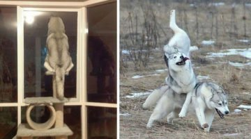 18 Funny Husky Photos That Prove They Are The Weirdest Of All Breeds