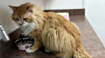 Cat Walks 12 Miles To Return Home After Family Gave Him Away, But Then They Took Him To Be Euthanized