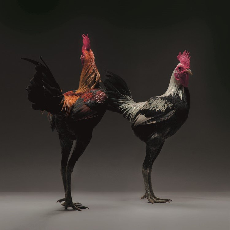 beautiful-chicken-pictures
