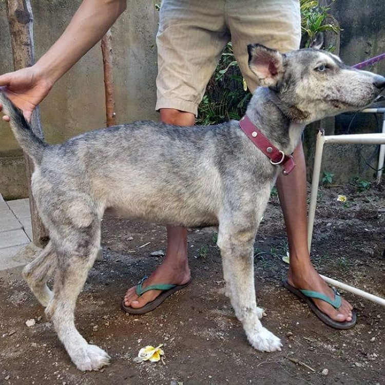 malnourished-husky-transformation-rescue