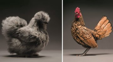 These Chicken Pictures Are Going To Open Your Eyes To Exactly How Beautiful They Are