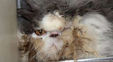 This Cat Was Rescued From A Hoarder's Home. They Had To Remove A Pound Of Matted Hair From His Body!