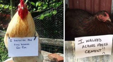 These Chickens Are Guilty Of Some Serious Farm Crimes And The Shaming Is Almost Too Funny To Read
