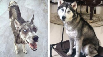 They Rescued This Husky And Transformed Him Into A Totally New Dog In Only 8 Months