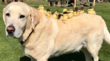 This Labrador Fostered 9 Orphaned Ducklings And He Is Now An Internet Celebrity
