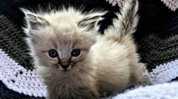 A Tiny Rescued Kitten Purrs Ultra Loud Because She Loves Her New Home So Much