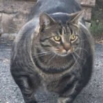 This Muscular Cat Is Taking Over The Internet And You Are Going To Love The Memes